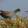 Common Moorhen (juvenile) on the edge of the water