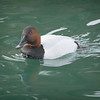 Swimming canvasback