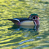 Wood duck at rest