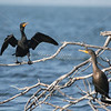 Double-Crested Cormorant SS71311