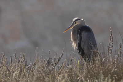 Great Blue Heron Backlit in Morning Light