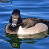 Ring-necked duck in stare down