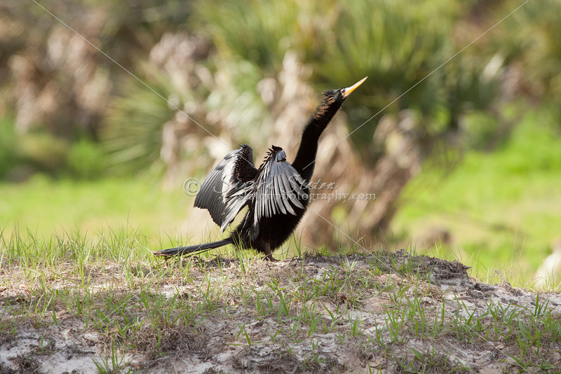 Anhinga dries its feathers