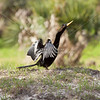 Anhinga dries its feathers