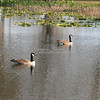 Canada Geese in Florida SS62496
