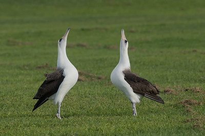Laysan Albatross Skypointing Behavior During Courting Session