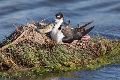 A Newly Hatched Black-Neck Stilt Nuzzles With Its Mother