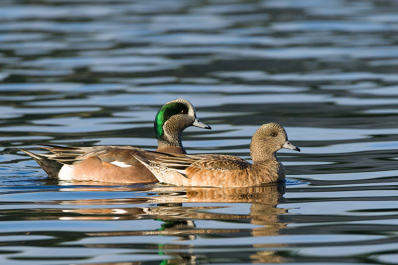 Wigeon married couple