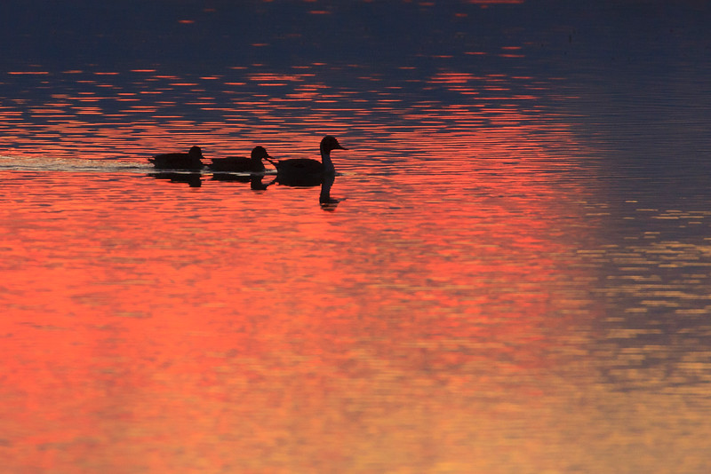 Duck family in early light