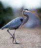 Great Blue Heron / Ardea Herodias