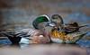 American Wigeon couple / Anas americana