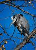 Great Blue Heron / Ardea herodias