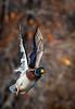 Mallard / Anas platyrhynchos