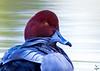 Redhead male / Aythia americana