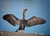 "I Swear That Big Fish  .....<br /> Double-crested Cormorant, Colorado<br /> ""Phalacrocorax auritus"""