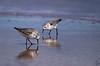 Sanderling / Calidris alba