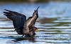 Double-crested Cormorant /Phalacrocorax auritus