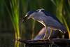 Night heron with crawl fish