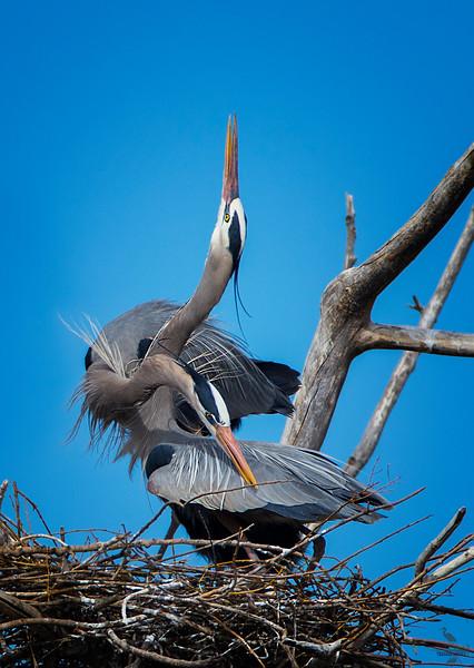 GBH nesting