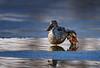 Northern Shoveler / Anas Clypeta