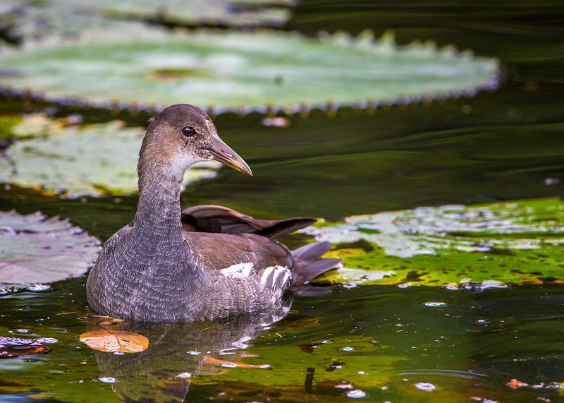Caribbean Coot / immature