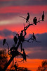 Double-crested Cormorant /Phalacrocorax auritus