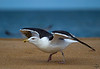 Great Black-backed Gull / Larus marinus