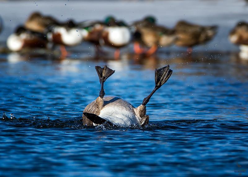 Canada Goose / Branta Canadensis