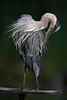 Great blue heron  /  juvenile