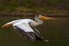 American Pelican / juvenile