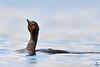 "Double-crested Cormorant, juvenile, Colorado<br /> ""Phalacrocorax auritus"""