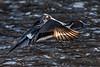 Northern Pintail / Anas acuta