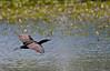 "Double-crested Cormorant, in flight, Colorado<br /> ""Phalacrocorax auritus"""