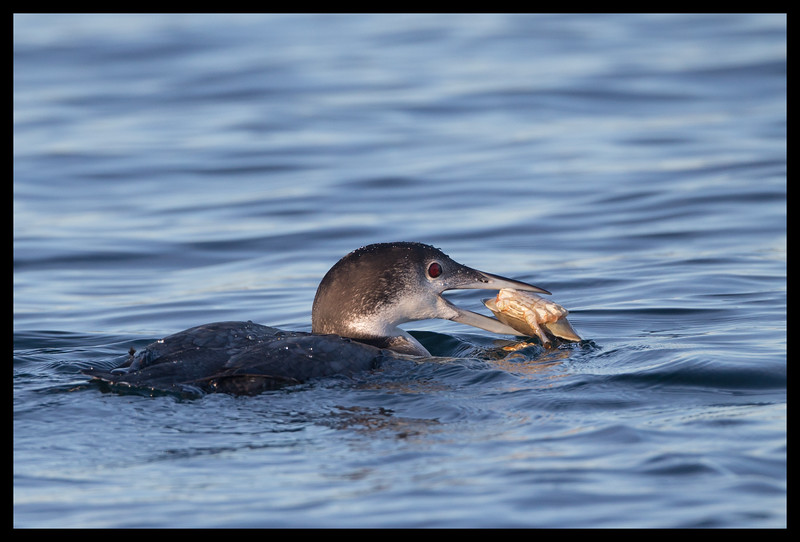 Loon with a crab