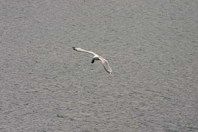 Sea Gull Dropping a Clam