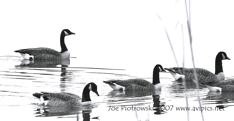 Geese black on white