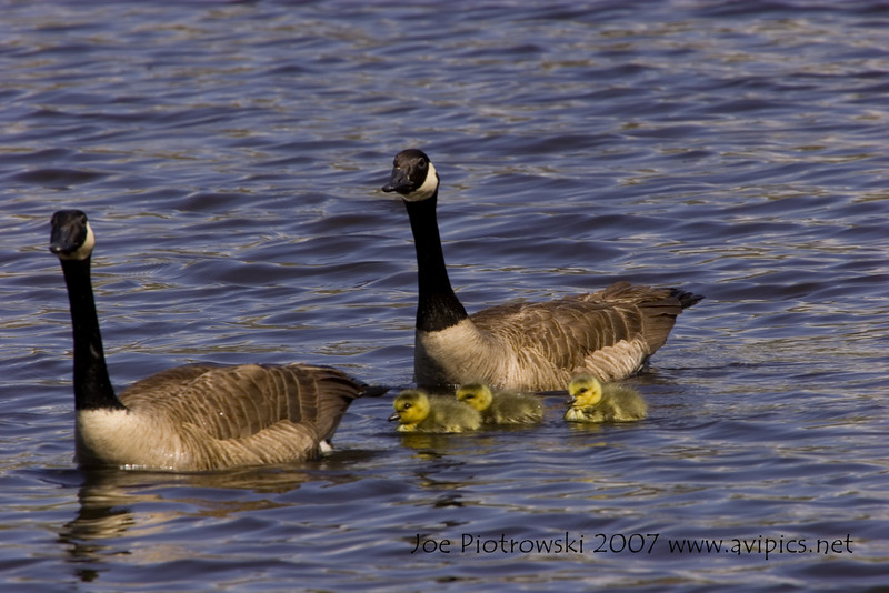 Canadian Geese with young