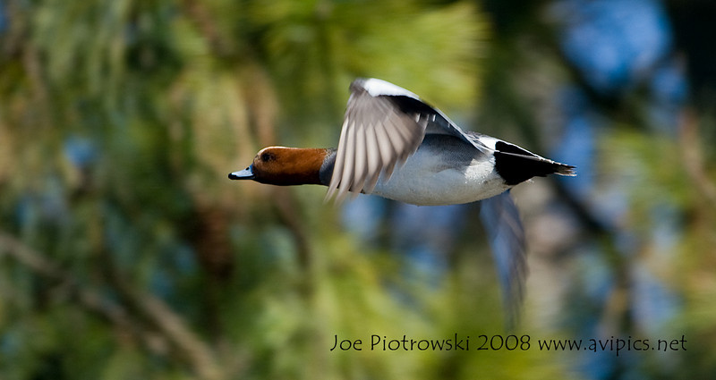 Eurasian Wigeon in flight