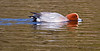 WaterFowl : Misc waterfowl from Va