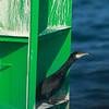 Great Cormorant in a box