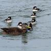 Buffleheads and Black Ducks