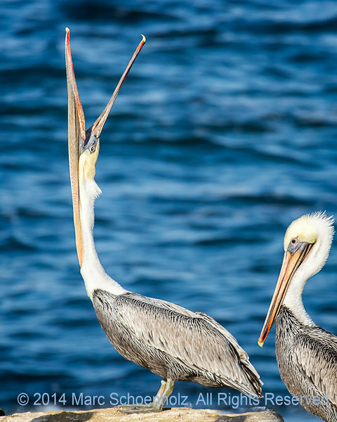 What a pose . . . head throw and stretching of the . . .  California Brown Pelican