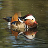A Mandarin Duck (male)