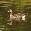 A Greater-white Fronted Goose