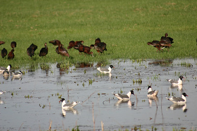 Franklin's gulls are sitting on the water with white-faced ibis in the grassy area behind.  Photo by Scott Root, Utah Division of Wildlife Resources.