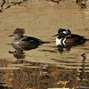 A female and male Hooded Merganser