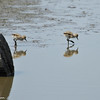 Newborn American Avocets