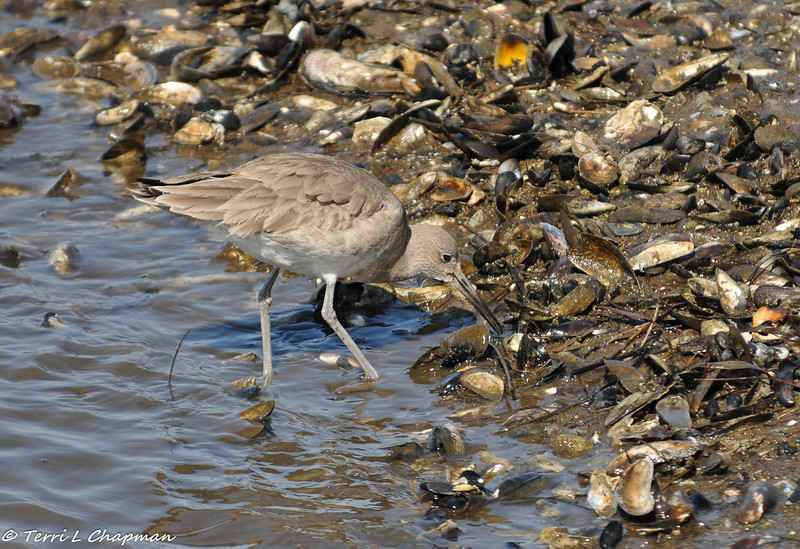 A Willet searching for a mussel