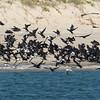 Little Black Cormorants (Phalacrocorax sulcirostris)