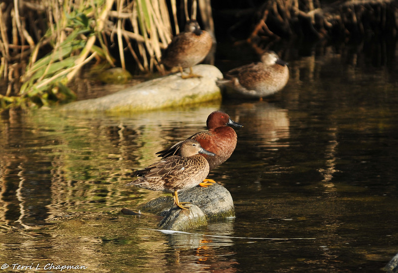 Cinnamon Teal ducks (male and female)